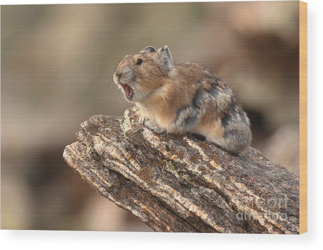 Pika Wood Print featuring the photograph Pika Barking From Rocktop Perch by Max Allen