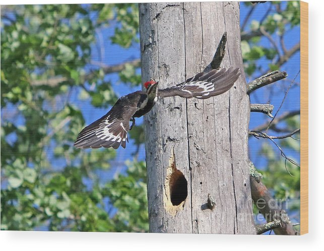 Woodpecker Wood Print featuring the photograph Pileated #27 by James F Towne