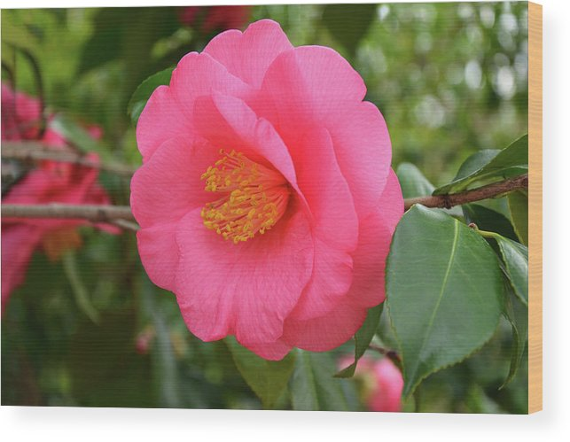 Isabela Cocoli Wood Print featuring the photograph Pink Camellia Flower by Isabela and Skender Cocoli