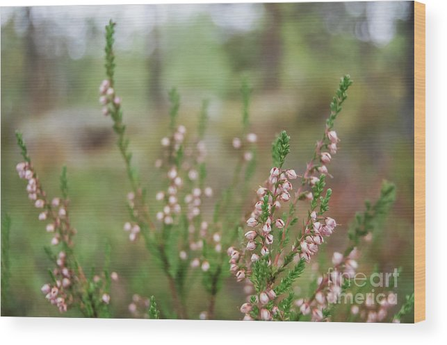 Pink Wood Print featuring the photograph Pink Heather, Calluna Vulgaris, In Foggy Forest by Iluphoto