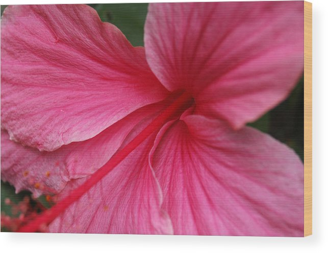 Pink Wood Print featuring the photograph Pink Hibiscus by Kathy Schumann