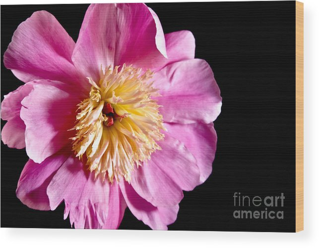 Flowers Wood Print featuring the photograph Pink Petals by Robin Lynne Schwind