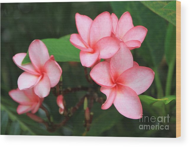 Pink Plumerias Wood Print featuring the photograph Pink Plumerias by Edward R Wisell