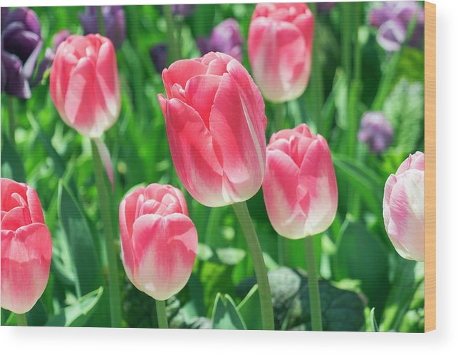 Flower Wood Print featuring the photograph Pink Tulips by Dawn Cavalieri