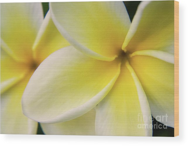 Nature Wood Print featuring the photograph Plumeria Flowers by Julia Hiebaum