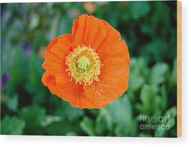 Orange Poppie Wood Print featuring the photograph Poppie by Maureen Norcross