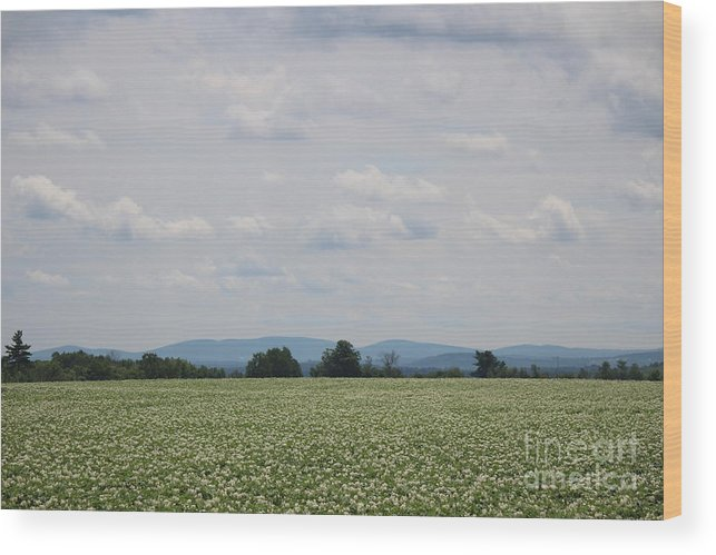 Potato Blossoms Wood Print featuring the photograph Potato Blossoms In Corinna Maine by Colleen Snow