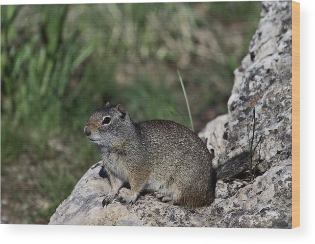 Prairie Dog Wood Print featuring the photograph Prarie Dog by Rodney Cammauf