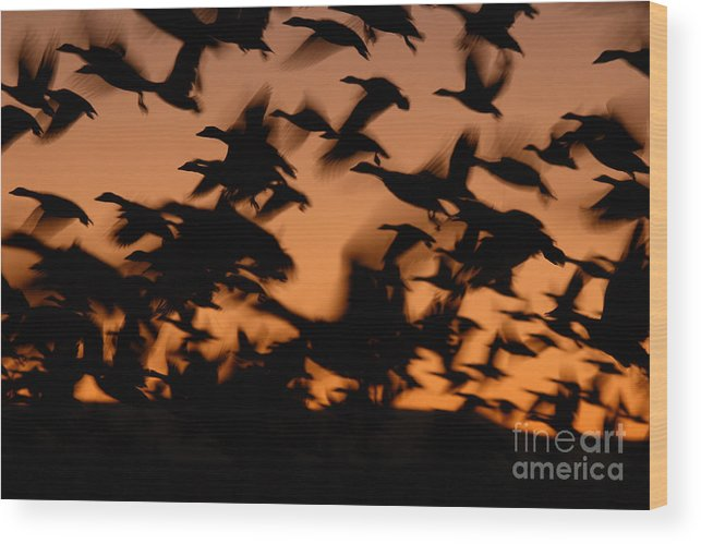 Geese Wood Print featuring the photograph Pre-dawn Flight Of Snow Geese Flock by Max Allen