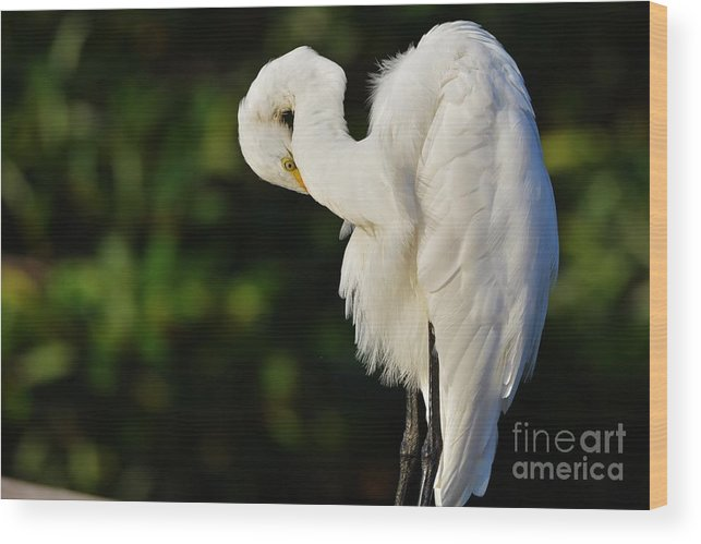 Great White Egret Wood Print featuring the photograph Preening Egret by Julie Adair