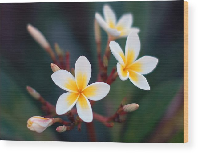 White Wood Print featuring the photograph Pretty Plumerias by Mandy Wiltse