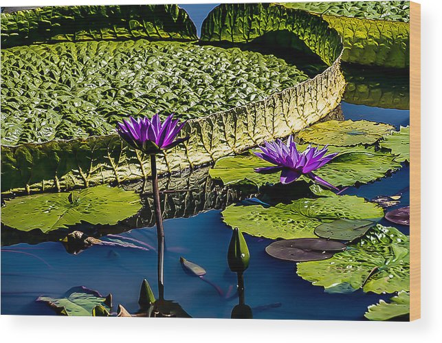 Lilly Pads Wood Print featuring the photograph Purple Lotus by Carol Ward