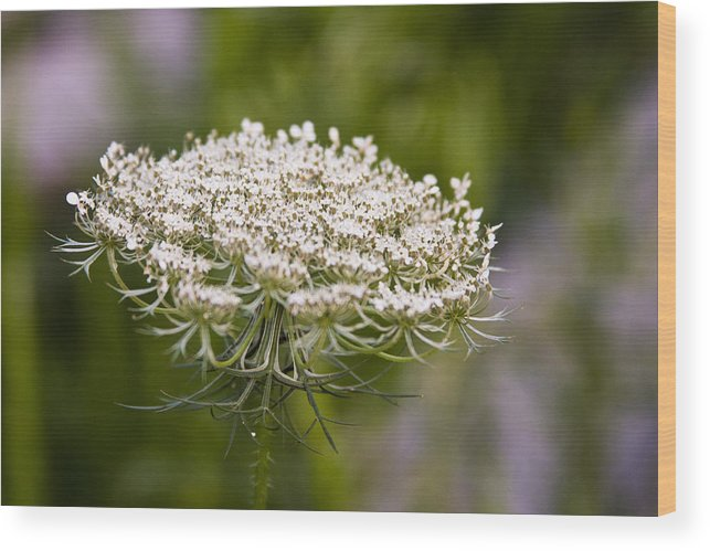 Queen Anne's Lace Wood Print featuring the photograph Queen Anne's Lace 2 by Gwen Vann-Horn