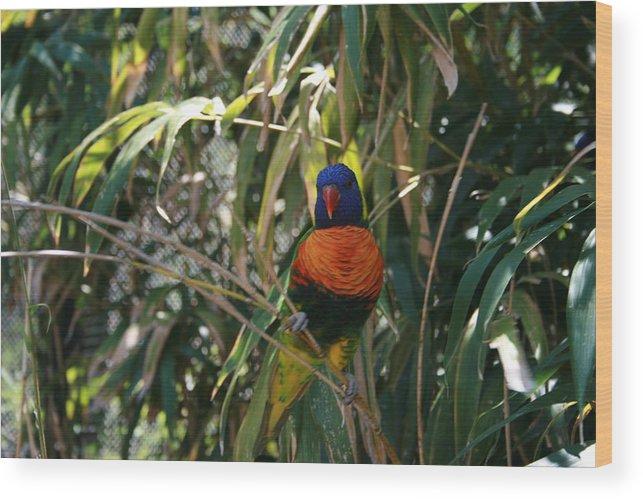 Rainbow Lorikeete Wood Print featuring the photograph Rainbow Lorikeete by Janet Hall