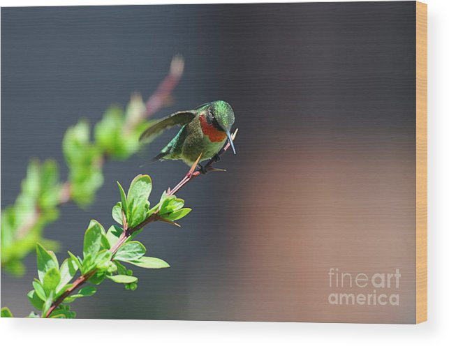 Hummingbird Wood Print featuring the photograph Ready For Take-off by Sandra Updyke