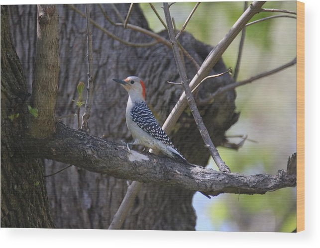 Wood Print featuring the photograph Red Bellied Wood Pecker by Kristian Jensen