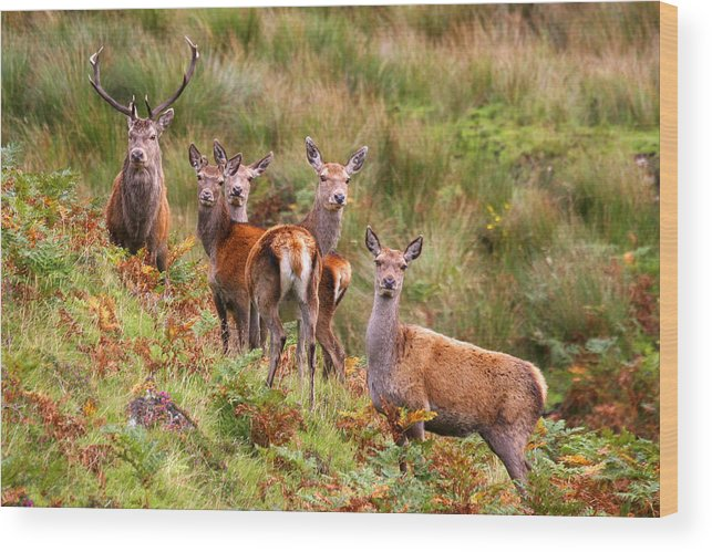 Scotland Wood Print featuring the photograph Red Deer In The Scottish Highlands by John McKinlay