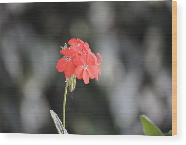 Red Flower Wood Print featuring the photograph Red Flower by Amant Puka
