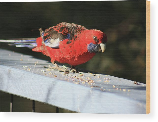 Red Rosella Wood Print featuring the photograph Red Rosella by Douglas Barnard