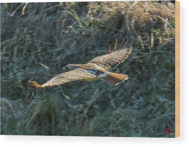 Red Tailed Hawk Wood Print featuring the photograph Red Tailed Hawk In Flight by Ronald Raymond