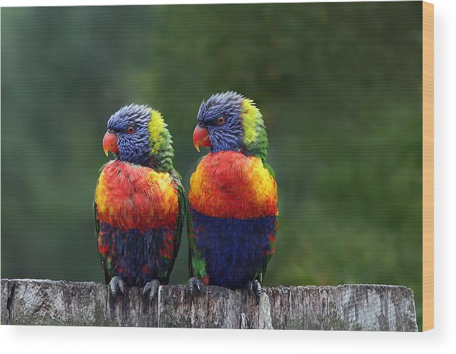 Lorikeets Wood Print featuring the photograph Rendezvous In The Rain by Lesley Smitheringale