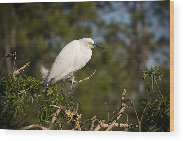 Snowy Egret Wood Print featuring the photograph Resting Snowy Egret by Chad Davis