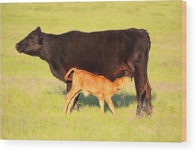 Cow Wood Print featuring the photograph Rich And Creamy Snack 2 by Jeanie Mann