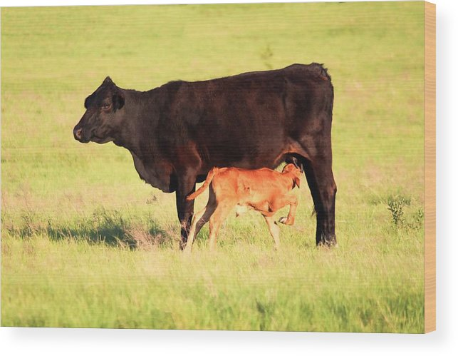 Cow Wood Print featuring the photograph Rich And Creamy Snack by Jeanie Mann