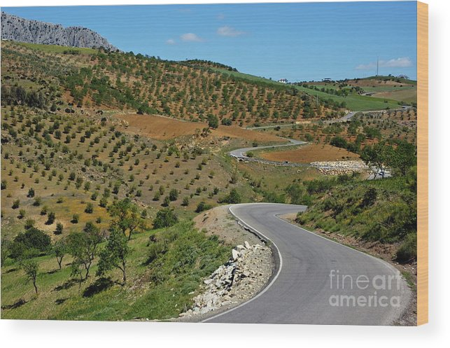 Agricultural Wood Print featuring the photograph Road Winding Between Fields Of Olive Trees by Sami Sarkis
