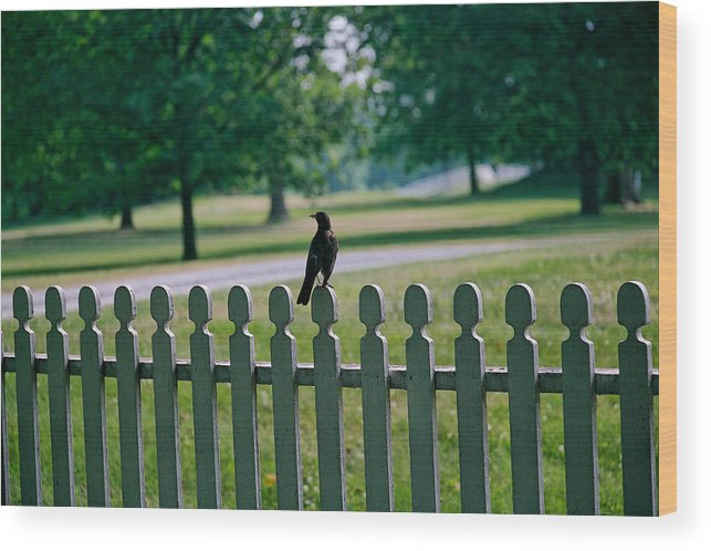 Bird Wood Print featuring the photograph Robin On A Fence by Lone Dakota Photography