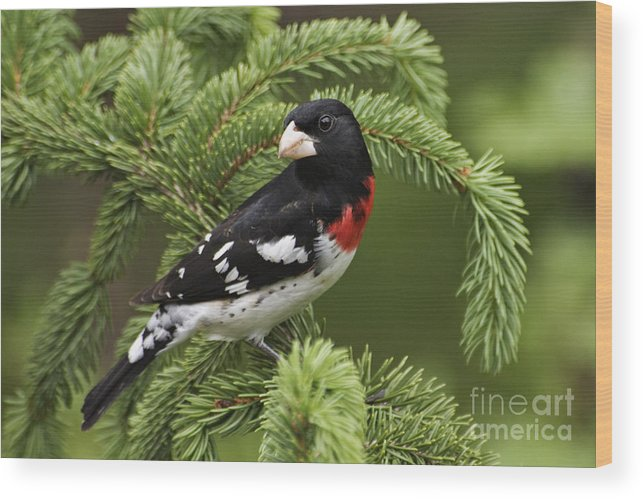 Male Wood Print featuring the photograph Rose-breasted Grosbeak - D002769 by Daniel Dempster