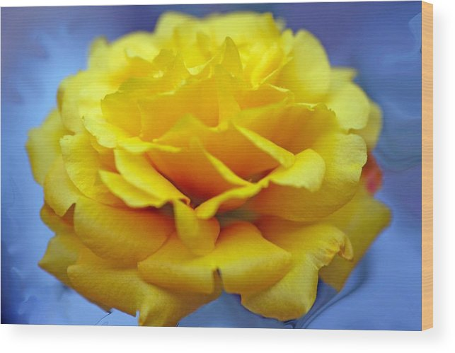Rose Wood Print featuring the photograph Rose Moss Flower by Jim Darnall