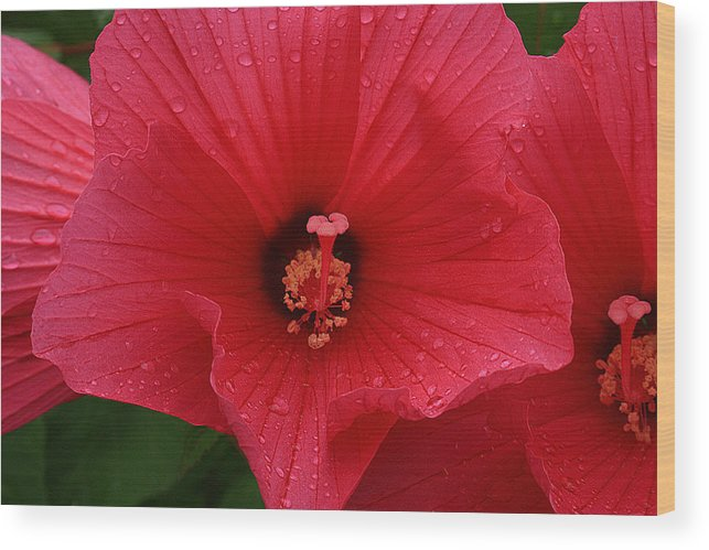 Flower Wood Print featuring the photograph Rose O Sharon Closeup by Roger Soule