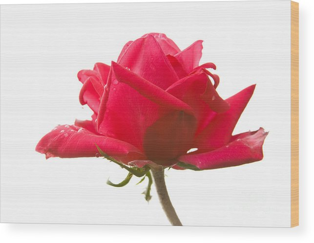 Rose Wood Print featuring the photograph Rose On White by Idaho Scenic Images Linda Lantzy