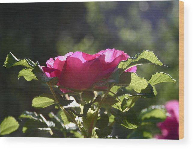Rose Wood Print featuring the photograph Rose's Illumination by Melany Raubolt