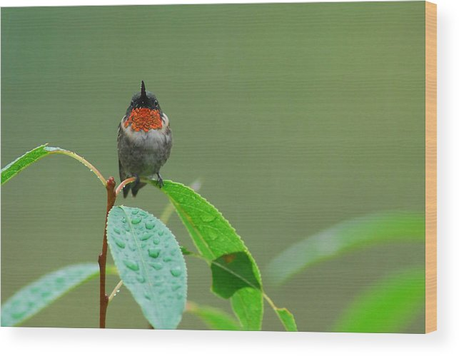 Birds Wood Print featuring the photograph Ruby-throated Hummingbird by Alan Lenk