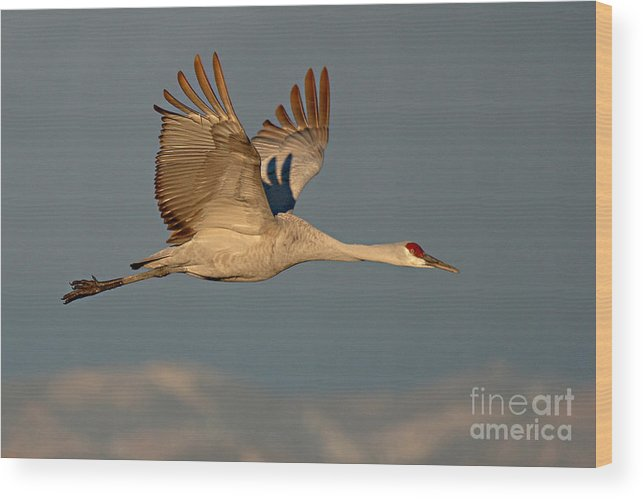 Crane Wood Print featuring the photograph Sandhill Crane Flying Above The Mountains Of New Mexico by Max Allen