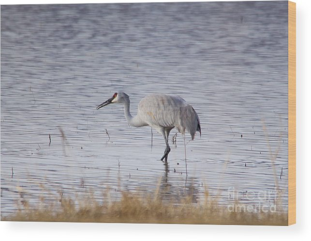 Sandhill Crane Wood Print featuring the photograph Sandhill On The Shore by Jeff Swan