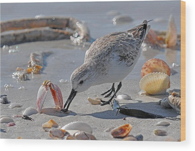 Shore Bird Wood Print featuring the photograph Sandpiper by Alan Lenk