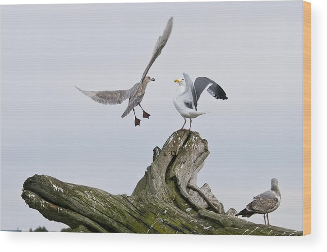 Birds Wood Print featuring the photograph Seagulls In Dispute by Chad Davis