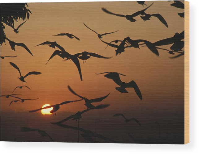 Birds Wood Print featuring the photograph Seagulls In Sunset by Carl Purcell