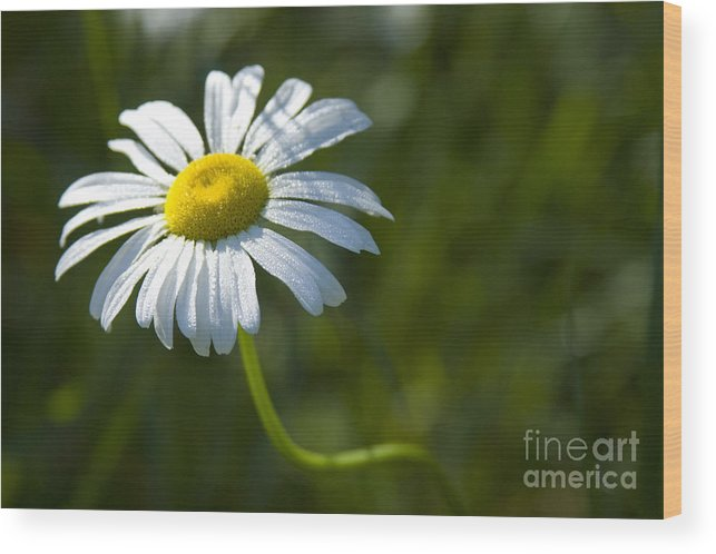 Daisy Wood Print featuring the photograph Searching For Sunlight by Idaho Scenic Images Linda Lantzy