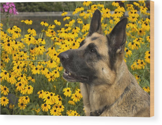 German Shepard Wood Print featuring the photograph Shepard Profile by Mark Michel