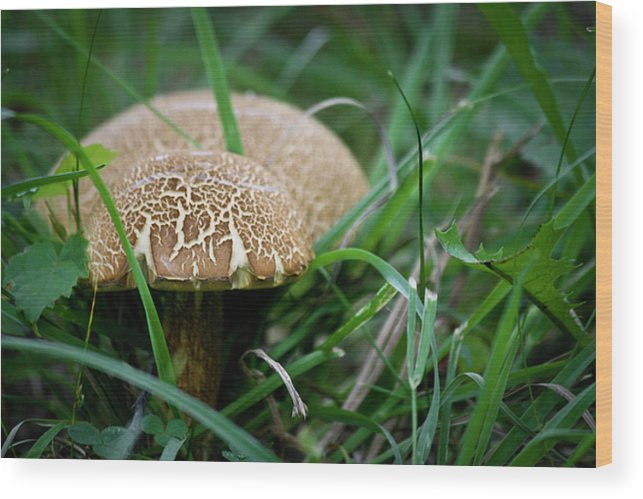 Fungus Wood Print featuring the photograph Shrooms Hiding by Teresa Mucha