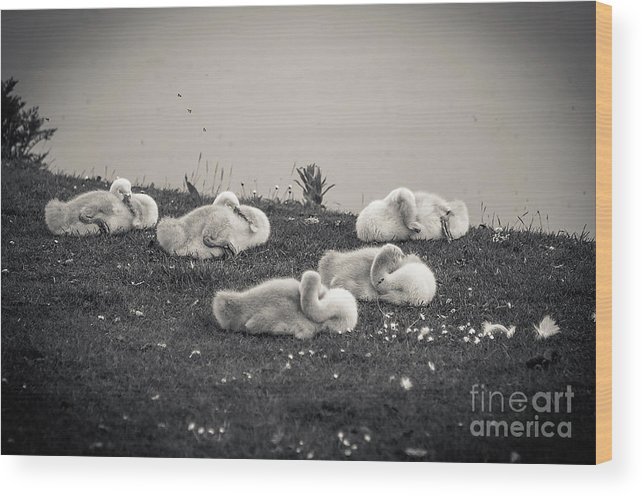 Black And White Wood Print featuring the photograph Sleeping Cygnets by Anthony Chapman