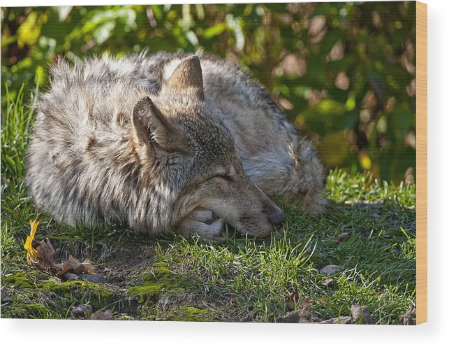 Michael Cummings Wood Print featuring the photograph Sleeping Timber Wolf by Michael Cummings