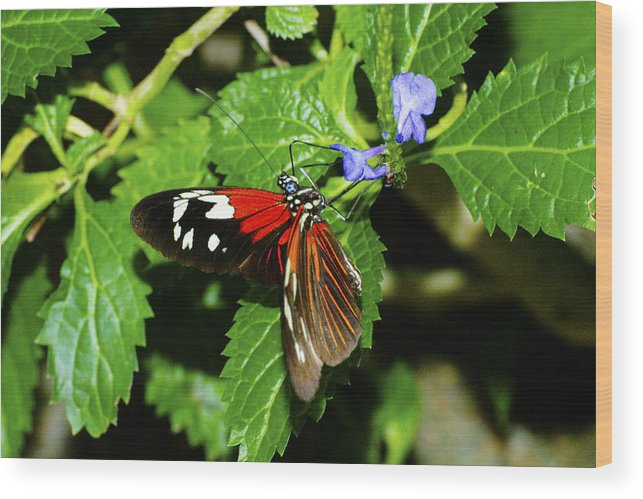 Butterfly Wood Print featuring the photograph Small Flower Big Tongue by Richard Henne