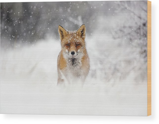 Fox Wood Print featuring the photograph Snow Fox Series - Red Fox In A Blizzard by Roeselien Raimond