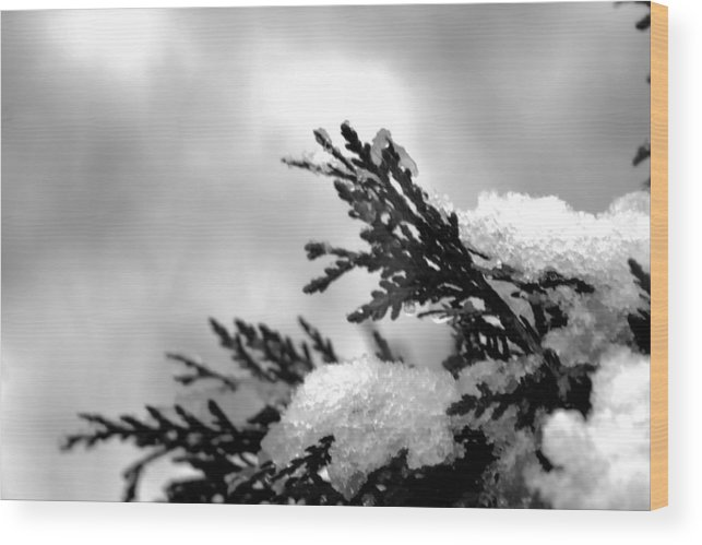 Nature Wood Print featuring the photograph Snowy Pine Branch by Robin Lynne Schwind