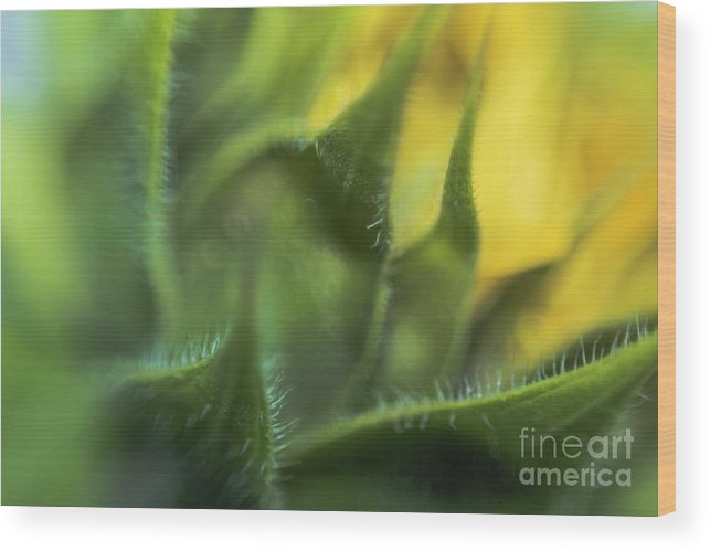 Sunflower Wood Print featuring the photograph Softabstractsunflower by Cindy Gatzemeier